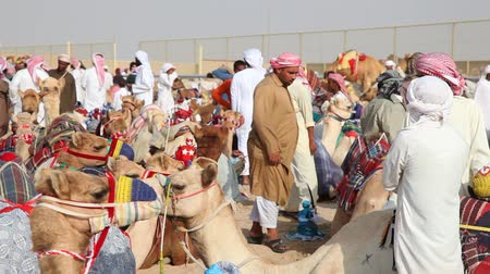 wielbłąd : Bedouins with their racing camels in Doha, Qatar, Middle East