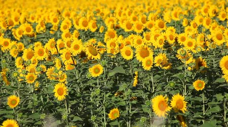 Blooming sunflower field in the summer