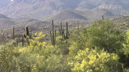 kaktusz : Superstition Mountains located in Lost Dutchman State Park in Apache Junction, Arizona. The park is famous for the legend of a gold mine somewhere in the park discovered by a German immigrant named Jacob Waltz back in 1891.