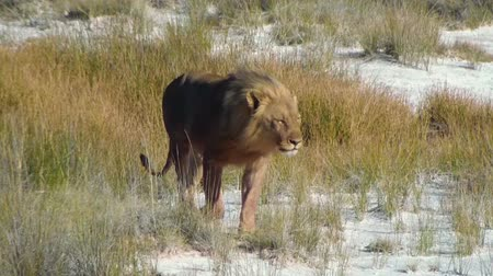 sůl : Male lion walking and jumping on saltpan. Etosha National Park, Namibia, Africa. Dostupné videozáznamy
