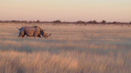 namibya : Rhino walking in field Etosha, Namibia, Africa