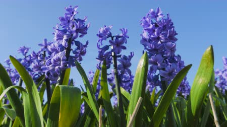 sümbül : Blue purple hyacinths blossom in spring in the open ground in a growers field. Flowers are moved by wind.