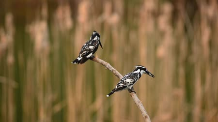 nó : Pied Kingfisher setting on branch and fishing