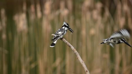 atthis : Pied Kingfisher setting on branch and feeding  Stock Footage