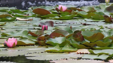 flutuador : Water flows into the lotus pond