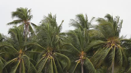 crab of the woods : Coconut trees were blown down