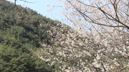 partially : flowers and tree branches in the wind of Jirisan, Jiri mountain, Korea - original for editing