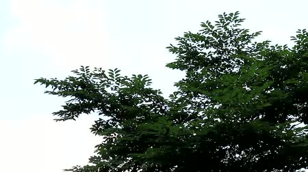 telescopic : beautiful green leaves and braches swinging in the wind scene, trees, Seoul, Korea, 27sec Stock Footage