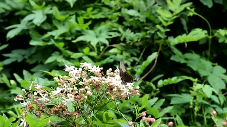 tiger butterfly : beautiful fluttering butterfly and flower Papilio maackii scene, mountain, Seoul, Korea Stock Footage