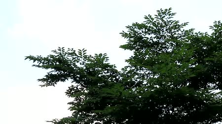 telescopic : beautiful green leaves and braches swinging in the wind scene, trees, Seoul, Korea Stock Footage