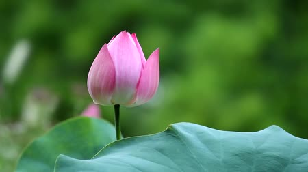 yolları : prayer-like pink (red) lotus flower tremble in the wind, Seoul, Korea, edited