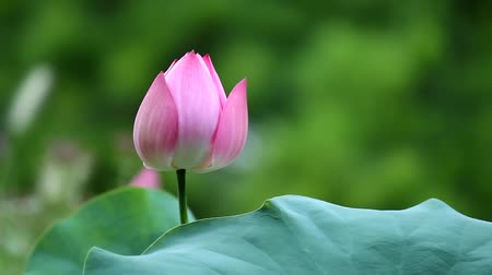 modlitba : prayer-like pink (red) lotus flower tremble in the wind, Seoul, Korea, edited