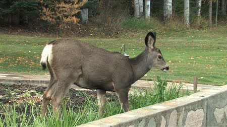 олень : Young deer eating parsley out of the garden