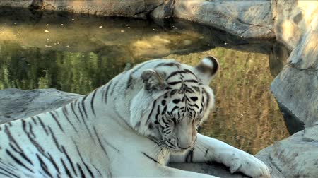 kaplan : Close up of White Bengal Tiger Stok Video