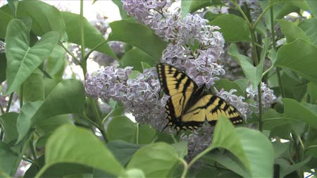 butterflies in the stomach : Swallowtail butterfly on Lilac