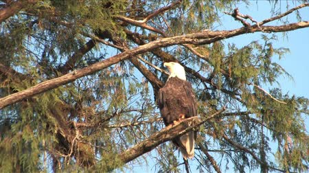 orel : Bald Eagle flys away from tree