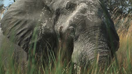 fil : Elephants in the wetlands of the Okavango Delta Botswana