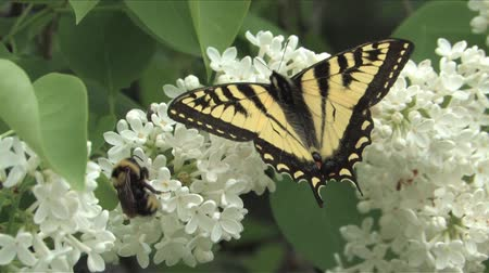 butterflies in the stomach : Swallowtail butterfly on lilac flower