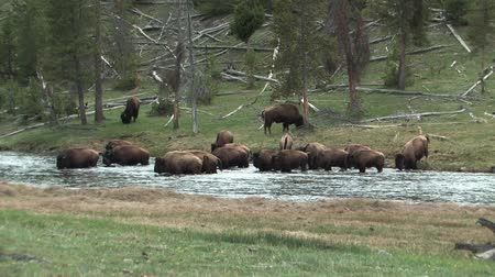 pastar : Herd of Buffalo crossing the Madison River in Yellowstone National Park, Wyoming, USA