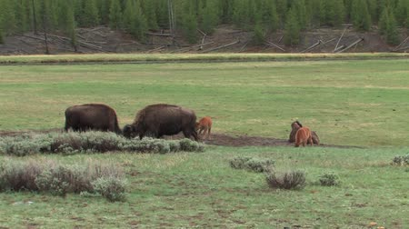 růžky : Young Bison playing but staying close to mom in Yellowstone National Park Dostupné videozáznamy