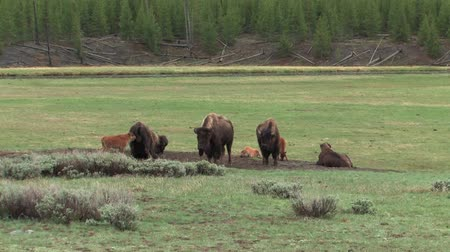 pastar : Young Bison playing but staying close to mom in Yellowstone National Park Vídeos