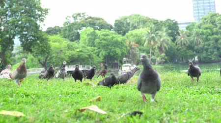 tropikal iklim : Pigeons on green grass Stok Video