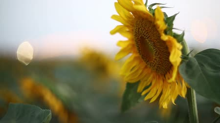 girassóis : sunflowers swaying in the wind