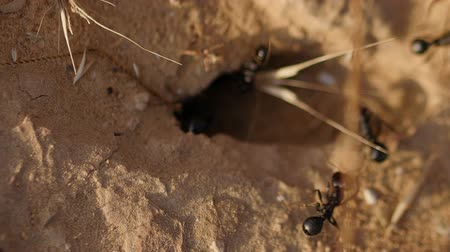 муравей : black ants near the anthill closeup