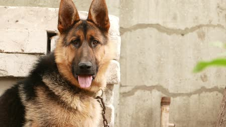 fiel : dog breed German Shepherd portrait Stock Footage