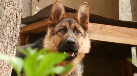 almanca : dog breed German Shepherd portrait Stok Video