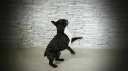 brindle : cute dog French bulldog jumping on hind legs Stock Footage