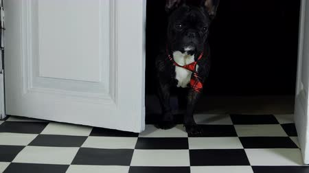 brindle : French bulldog runs out of doors Stock Footage