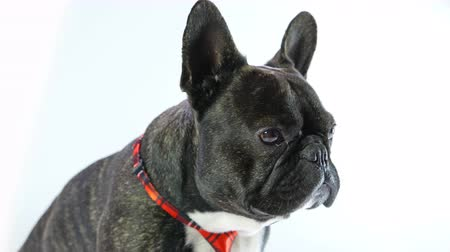 French bulldog in a tie sitting on a white background