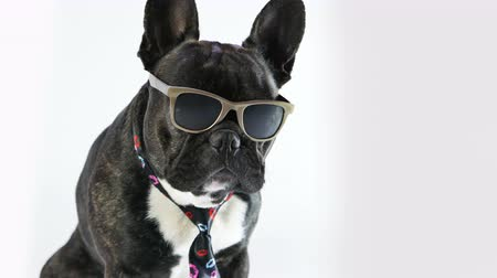 French Bulldog sitting in a tie and glasses on a white background Stock mozgókép