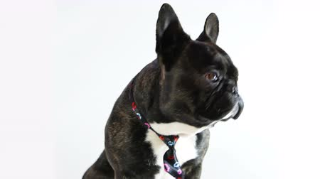 French bulldog licking sitting in a tie on a white background