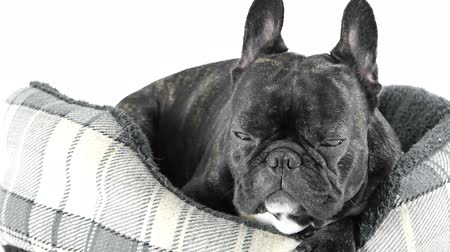 French bulldog sleeping in bed on white background
