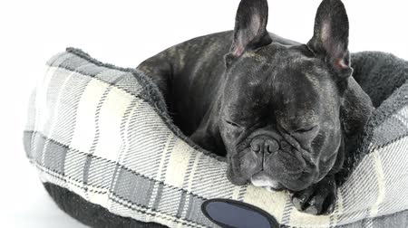 buldok : French bulldog sleeping in bed on white background
