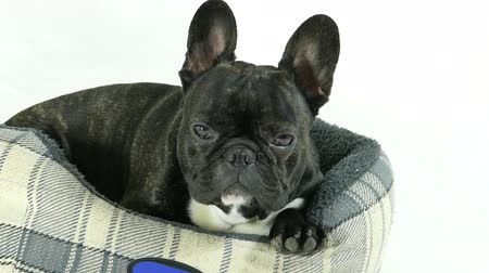 French bulldog lying down in bed on a white background