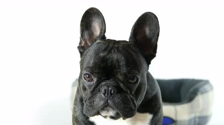 buldog : French bulldog dog sitting and looking, white background