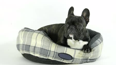 buldog : French bulldog goes to bed, white background