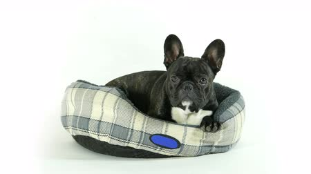 buldog : French bulldog lying down in bed on a white background