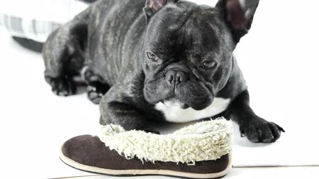 French bulldog lying with shoes on a white background Stock mozgókép