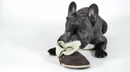 buldog : French bulldog lying with shoes on a white background Wideo