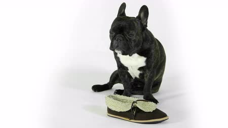 gnaw : French bulldog with shoes on white background