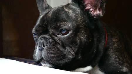 buldok : dog breed French bulldog sad howls Dostupné videozáznamy