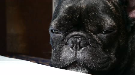 szemfog : dog breed French bulldog sad howls Stock mozgókép