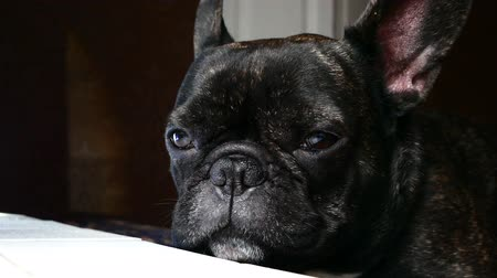 choro : dog breed French bulldog sad howls Vídeos