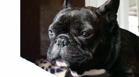 buldog : dog breed French bulldog sad howls Wideo