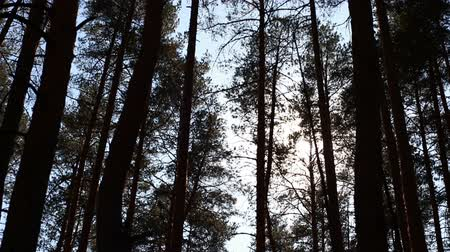 silvicultura : pine forest landscape, trees swaying in the wind