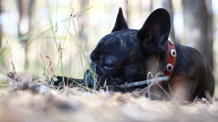 buldok : dog french bulldog in the forest Dostupné videozáznamy